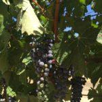 Grapevines Napa California #napa